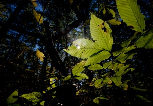 Milton, Mass., Oct. 25, 2014: Leaves in sunlight are seen on a trail in the Blue Hills Reservation, an over 7,000-acre state park that includes parts of Milton, Quincy, Braintree, Canton, Randolph, and Dedham.