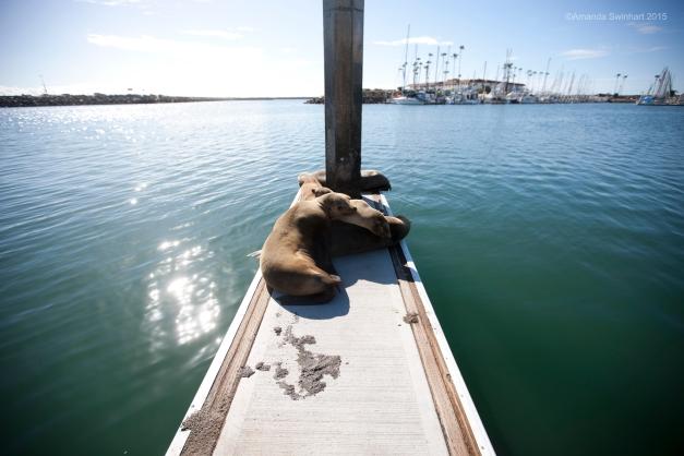 Sea lions, Oceanside Marina