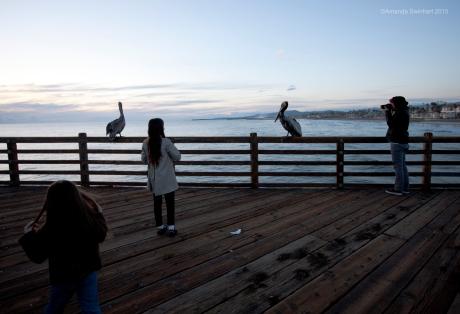 Brown Pelicans, Oceanside pier