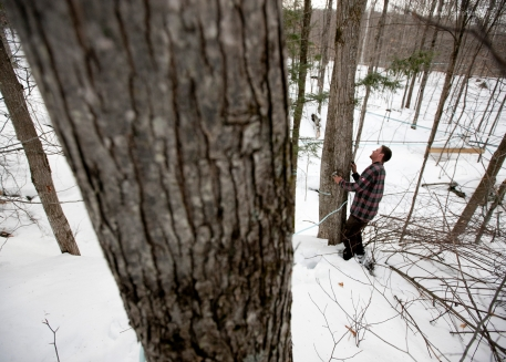 March 10, 2015, Richmond, Vt.: Tim Kelley, one of the founders of Slopeside Syrup, scopes out a spot to insert tubing into a maple tree to prepare it for tapping. Gravity allows for the sap to run through the tubing and down to the sugarhouse where it is then collected and boiled. The company's 23,000 taps are spread across 500 acres and are immersed within Cochran Ski Area, a family-run mountain in Richmond. Each tap yields one gallon of sap per day.